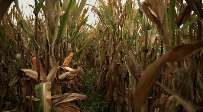 BT corn, Spain